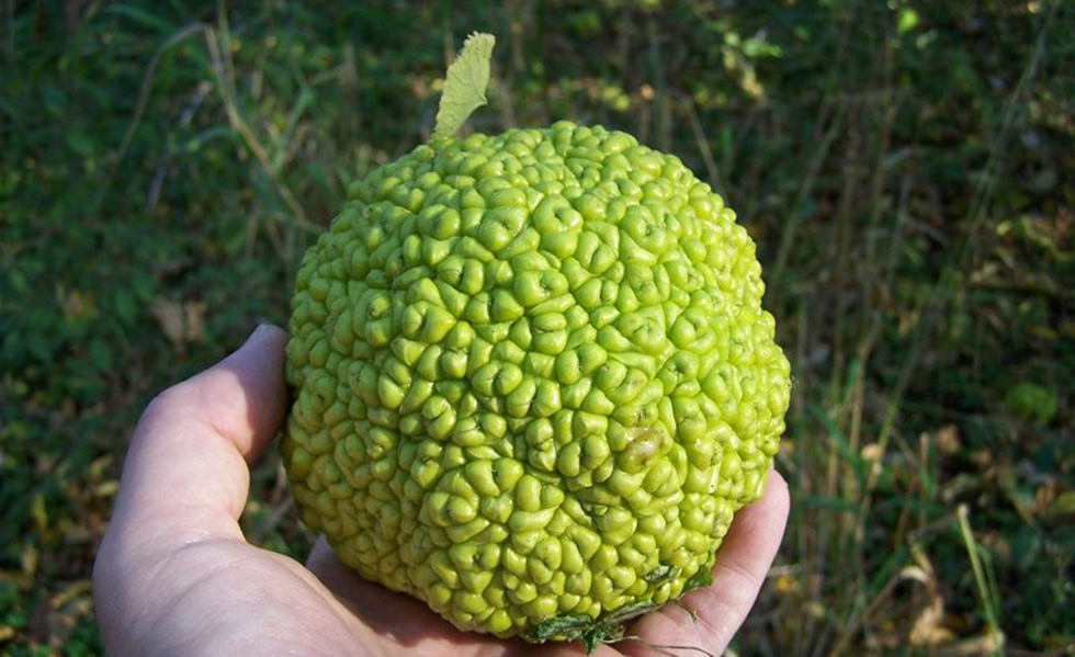 osage_orange_1-jpg__800x0_q85_crop
